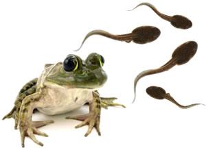 2503-bullfrog-tadpoles-l