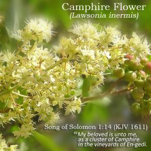 Lawsonia inermis camphire flower solomon
